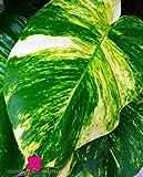 Plante de POTHOS AUREUS 'Epipremnum Aureum' - en pot Ø 12 cm - H. 15/20 cm