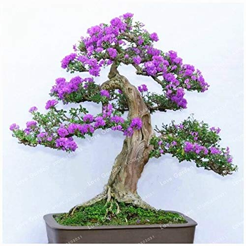RETS 50 PC Lila weiße Flieder Samen Lilac Clove Samen Bonsai treeeds Blumensamen Baumsamen Topfpflanze für Haus-Blumen-Garten: 2