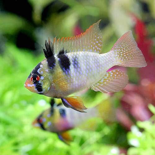 (熱帯魚)ジャーマン・ラミレジィ(東南ブリード)(2匹) 北海道・九州航空便要保温