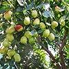 Bshopy 10pcs de jujube fruits Graines Véritables jujube de graines exotiques Bonsaï naturel Sain beau facile Délicieux organique Vivace plante grandir #4