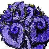 Pinkdose sapphire blue: 50Pcs Begonia Seeds, Coleus Begonia Flower Seeds Bonsai Plants Balcony Home Garden Decor (Blue)(Double Color)(Purple)(Sapphire Blue)