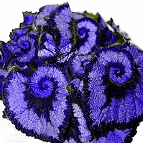 50Pcs Begonia Seeds, Coleus Begonia Flower Seeds Bonsai Plants Balcony Home Garden Decor (Blue)(Double Color)(Purple)(Sapphire Blue)