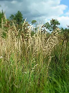 Blue Joint Grass, Calamagrostis Canadensis Bare Root (50 Plants)