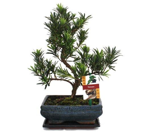 exotenherz - Bonsai Steineibe - Podocarpus macrophyllus - ca. 8 Jahre