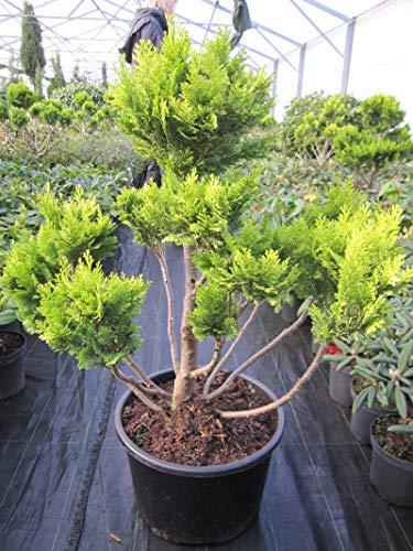 Chamaecyparis lawsoniana 'Minima Aurea' Bonsai - Goldzypresse 'Minima Aurea' Bonsai 70-80
