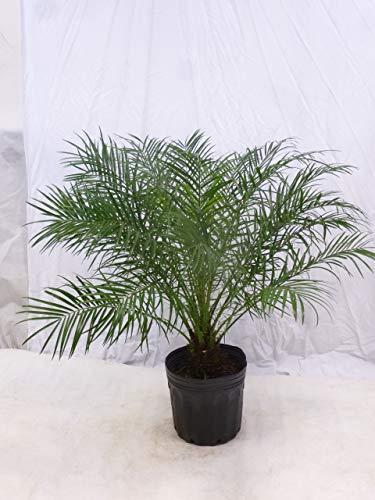 [Palmenlager] Phoenix roebelenii Zwergdattelpalme 100/130 cm/Stamm 10/20 cm/Zimmerpalme