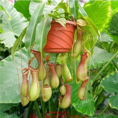 De nouvelles graines fraîches Graines Nepenthes Nepenthes Carnivorous Graines de fleurs purifient l'air Catch insectes mélangé pour le jardin à la maison 100 graines Violet