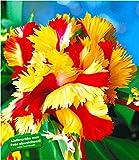 BALDUR-Garten Papageien-Tulpen 'Double Flaming Parrot', 5 Zwiebeln