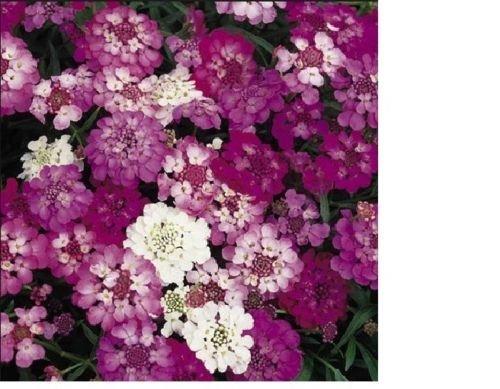 Bonbons Tuft, Graines Mix hautes fleurs - frais et main incluse dans le paquet (350+ Seeds)