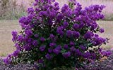 Purple Velvet Miniature Crape Myrtle, 1 Plant, Darkest Purple Flower Available, Matures 4'-5' (6'-1' Tall When Shipped, Well Rooted with Pots in Soil)