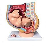 SHUAI Bassin De La Femme Humaine Enceinte Anatomique Médical Section Pelvienne Féminine Humaine Grossesse Anatomique, avec Grossesse 9 Mois Modèle De Foetus De Bébé Grandeur Nature