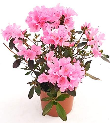 AZALEA DA ESTERNO ROSA XL, vaso 16cm pianta vera