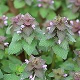 Benoon Semillas rojas de Henbit, 100 unidades/bolsa de semillas de ortiga muertas semirverde rojo púrpura purpureum semillas para semillas al aire libre