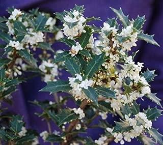 Fragrant Princess Dwarf Tea Olive ( 'Kaori Hime' osmanthus ) - Live Plant - Quart Pot