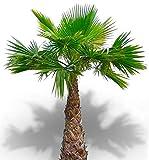 25 graines - WASHINGTONIA ROBUSTA - Palmier résistant