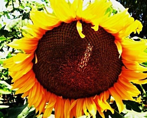 100 Sonnenblume Uniflorus Giganteus Samen, Riesensonnenblume, 3-4m, Blüte > 30cm