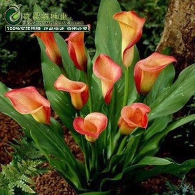 Calla semences de fleurs de lys printemps et en hiver mis une plantation en pot de semences de gazon de plantes d'intérieur en direct-10 graines