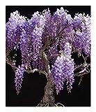 Bolusanthus speciosus - Afrikanischer Blauregen - Blauregenbaum - 10 Samen