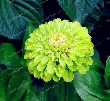 100PCS Zinnia Graines rares Variété chaleur Tolerant Jardin Fleur Plantes à fleurs en pot Charme chinois Fleurs Graines culture facile 7