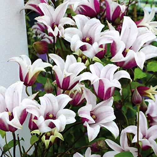 AIMADO Samen-Rarität 50 Pcs Tulpen-Clematis 'Princess Kate Blumensamen mehrjährig winterhart lange Blütezeit Bonsai Saatgut Garten Kletterpflanze