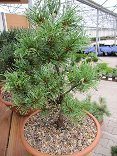 Pinus parviflora Schoon's Bonsai - Mädchenkiefer Schoon's Bonsai