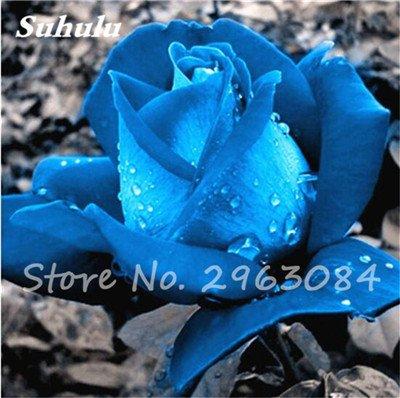 Multi-couleur Calla Fleur vrai Calla Lily Graines d'amour élégant Noble Symbolise Graines de fleurs de plantes d'intérieur Bonsai Balcon Fleur-50 1