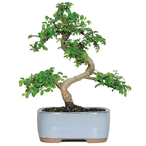 Brussel's Live Chinese Elm Outdoor Bonsai Tree - 5 Years Old; 6' to 8' Tall with Decorative Container