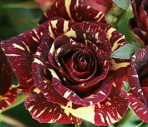 Abracadabra Rose Bush Blumensamen - Treasuresbylee Exclusive