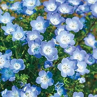 Baby Blue Eyes Wildflower Flowers Blue Baby's Breath, 1500+ Premium Seeds, Beautiful & Gorgeous! Nemophila menziesii, (Isla's Garden Seeds), Highest Quality, Highest Purity, 85-90% Germination