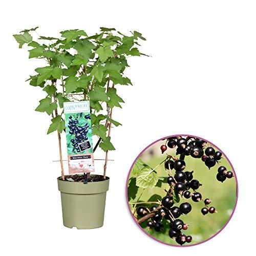 Schwarze Johannisbeere - am Spalier - Höhe 60-70 cm - Topfdurchmesser: 21 cm - Ribes nigrum 'Titania' - 100 Procent FRUIT