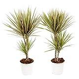 Dracaena Marginata Bicolor | 2 plantas | Planta de interior | Altura 75 cm |...