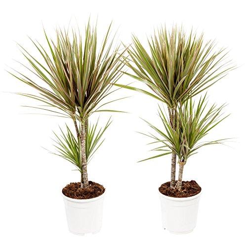 Dracaena Marginata Bicolor   2 plantas   Planta de interior   Altura 75 cm   Maceta 17 cm   Fácil cuidado