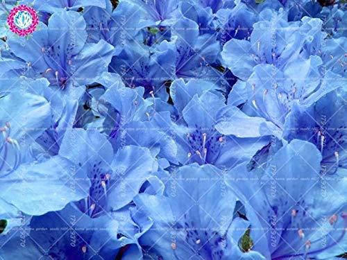 RETS 100pcs Sims Azalea Rhododendron simsii Bonsai-Baum Blume Staude Strauch Pflanzen Haus Garten Evergreen: 2