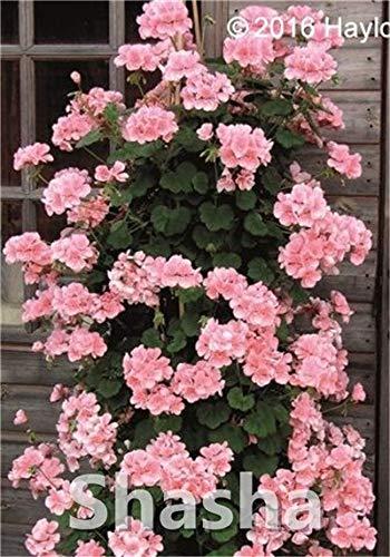 SANHOC Bonsai Geranium 100 Stück Japanische Gelb Ppleblossom Rosebud Pelargonium blühende Geranien Balkonpflanze Für Hausgärten: 7