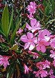 TROPICA - Adelfa (Nerium oleander L.) - 50 semillas-...