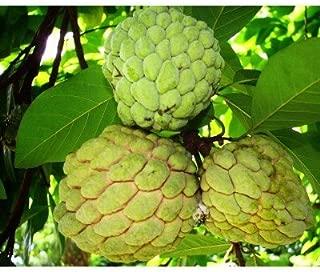 50 Sugar Apple Seeds, Annona Squamosa