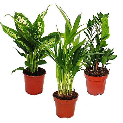 Exotenherz -Zimmerpflanzen-Set - Dieffenbachia - Dypsis lutescens - Zamioculcas - 3 Pflanzen - pflegeleicht - luftreinigend - 12cm Topf