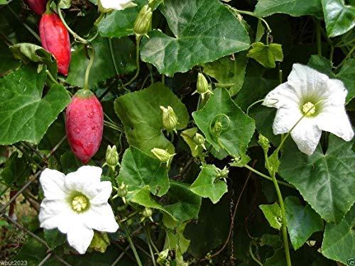 Coccinia grandis - concombre lierre, concombre exotique d'Asie - 20 graines