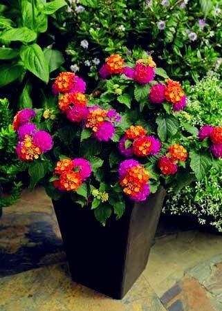 Hot verkoop 100 stuks Verbena hybrida bonsai, Verbena ingemaakt, overblijvende kruiden bloeiende planten voor huis en tuin indoor aanplant: 15