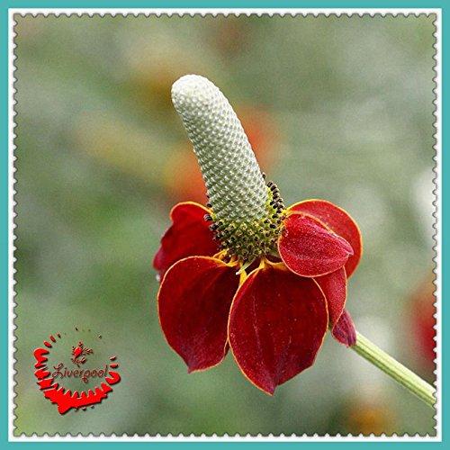 30 Prairie échinacée Graines de fleurs Mexican Hat Fleur Jaune Rouge Ainsi, les maisons colorées A084