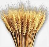 KABOGINS 100 Stems Dried Wheat Stalks Golden Dried 100%Natural Wheat Sheave Bundle Flower for Home Kitchen Christmas Wedding(17 inch) (Natural)