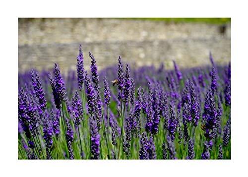 Stk Lavendel Dwarf Blue