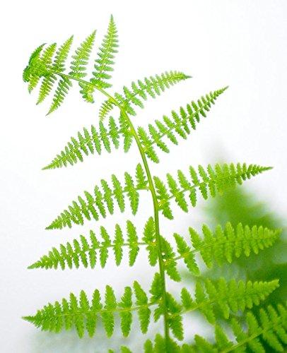Farn Wald-Frauenfarn Athyrium filix-femina Bodendecker verschiedene Größen (Topf 2Ltr.)