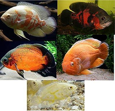 "Family of (5) Live Oscars 2"" Live Tropical Fish Assorted Oscar Cichlids (Astronotus ocellatus)"