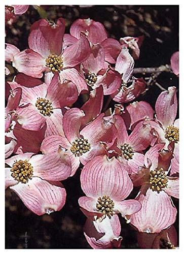 TROPICA - Roter Blüten - Hartriegel...