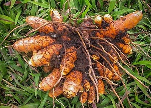 EcoDepotiN Curcuma Longa Rhizome, Kurkuma Rhizome, Haldi Rhizome, zum Anbau (4 NOS)