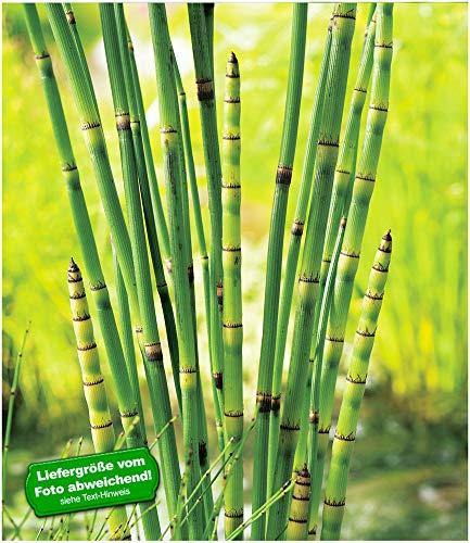 BALDUR-Garten Japanischer Schachtelhalm, 3 Pflanzen Wasserpflanzen für den Gartenteich