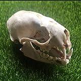 VIEUR Echt Otter-Schädel Probe Tiernatur Schädel Büro Bar Dekoration Skull Collection Specimen -