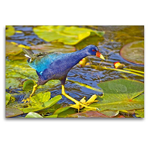 Calvendo Premium Lienzo 120 cm x 80 cm horizontal, hora azul – Una gallina de Sultano, con su gefieder azul sobre rosas de agua, imagen de Everglades, Florida, lugares de Estados Unidos