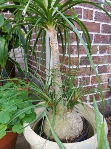 Beaucarnea Recurvata Ponytail Palm Seeds Succulent Rock Garden Bonsai tyn3sw (10 Seeds)